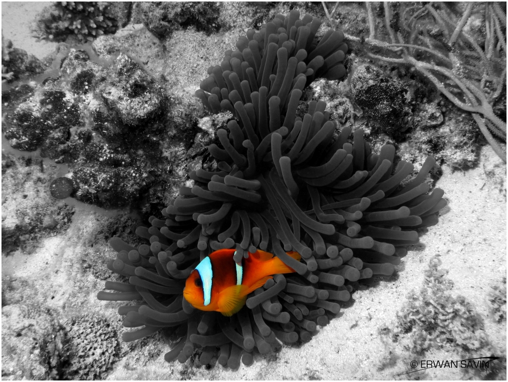 Clownfish on B&W web bordure x3
