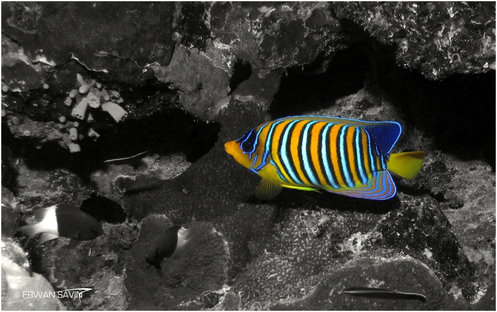 Royal Angelfish on B&W WEB bordure x3